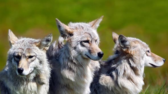 Волки появились на Тарханкуте.
