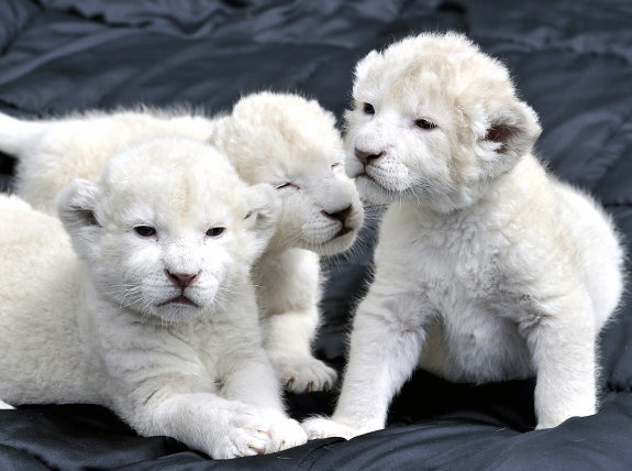 75497113_3437689_gal_lion_cubs3