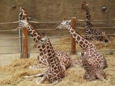 В Белогорском районе построят жирафятник