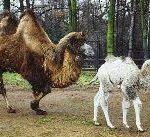 Татарстан отправит в Бахчисарай бактрийских верблюжат, чтобы создать этнопарк