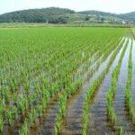 Бывшие рисовые чеки Нижнегорского района Крыма засеяли другими сельскохозяйственными культурами