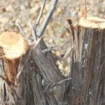 В Севастополе лесничий незаконно повредил три десятка краснокнижных деревьев