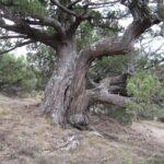 По Крыму насчитали 39 деревьев старше 1 тыс. лет