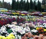 В Никитском ботаническом саду устроят «Бал хризантем»