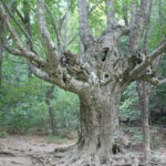 В Крыму снимут фильм о деревьях-старожилах