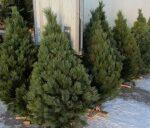 Среднюю цену на новогодние елки в Крыму определили в 200 рублей
