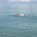 В Севастополе морж проплыл со связанными руками и ногами два километра