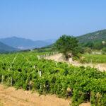 Крым разработал программу возрождения виноградарства и чаирных садов