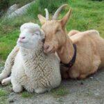 В Севастополе впервые пройдет общекрымская выставка племенных овец и коз