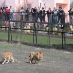 Парк «Тайган» решил не устраивать традиционный выпуск львов