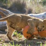 Новый вольер для львов в зооуголке Симферополя достроят в этом году