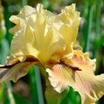 Никитский ботанический сад открыл выставку ирисов