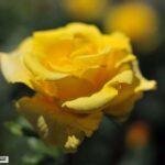 Никитский ботанический сад показал выставку «Романтические розы»