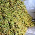 В «Массандре» идёт сезон сбора винограда