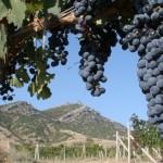 Аксенов: Крым готов вдвое увеличить площадь виноградников в России