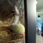 Крымские ученые тестируют методы лечения вином на крысах