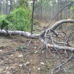 Симферопольцы предложили властям собрать массу дров на лесоповалах в городских посадках (ФОТО)