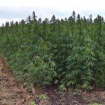 В Судаке полицейские выявили факты незаконного выращивания конопли