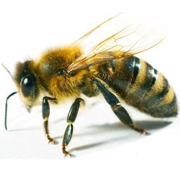 Пчелы – Спасительницы