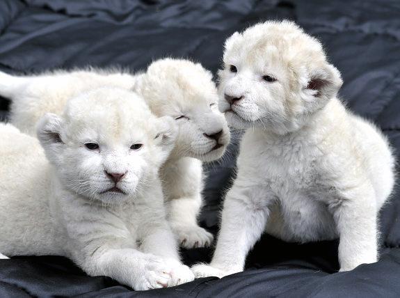 75497113_3437689_gal_lion_cubs3