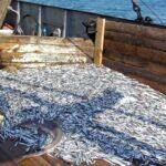 До конца года рыбакам разрешили добыть в Азовском море 80 тыс. тонн хамсы
