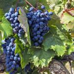 "Урожай винограда на ""Массандре"" вместо украинцев собирают сибиряки"
