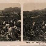 Сбор винограда в окрестностях Симеиза. Стереопара. Крым. 1910 год.